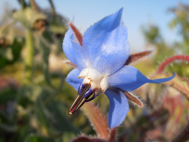 borraja-borago-officinalis