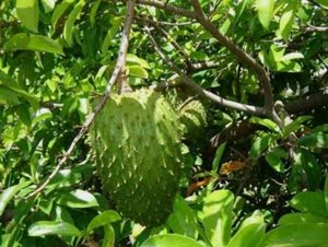 Cure Cancer Naturally With Soursop