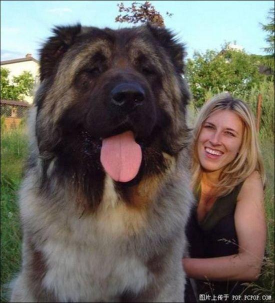 Gambar foto video anjing terbesar di dunia - YouTube