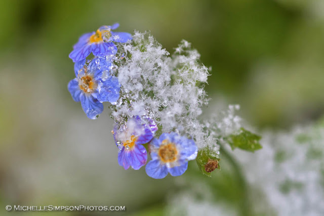 Forget Me Not Snow Crystals - Homer, Alaska