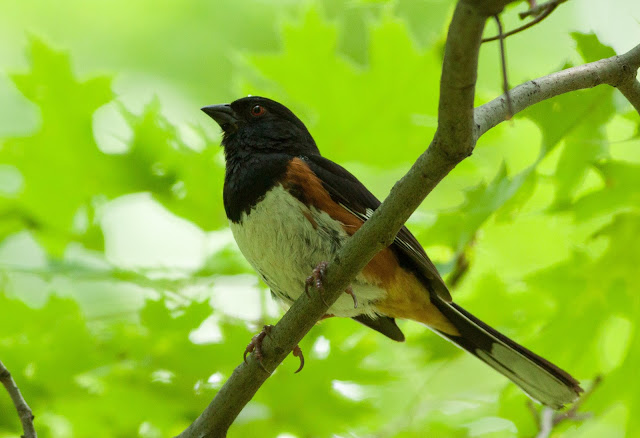 Eastern Towhee - Inwood Hill Park, New York