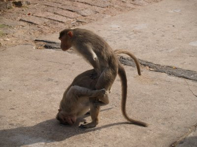 monkeys mating | My HD Animals
