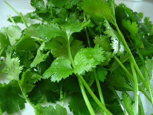 Como cultivar cilantro en macetas - Por donde Empezar - Hojas Frescas de Cilantro