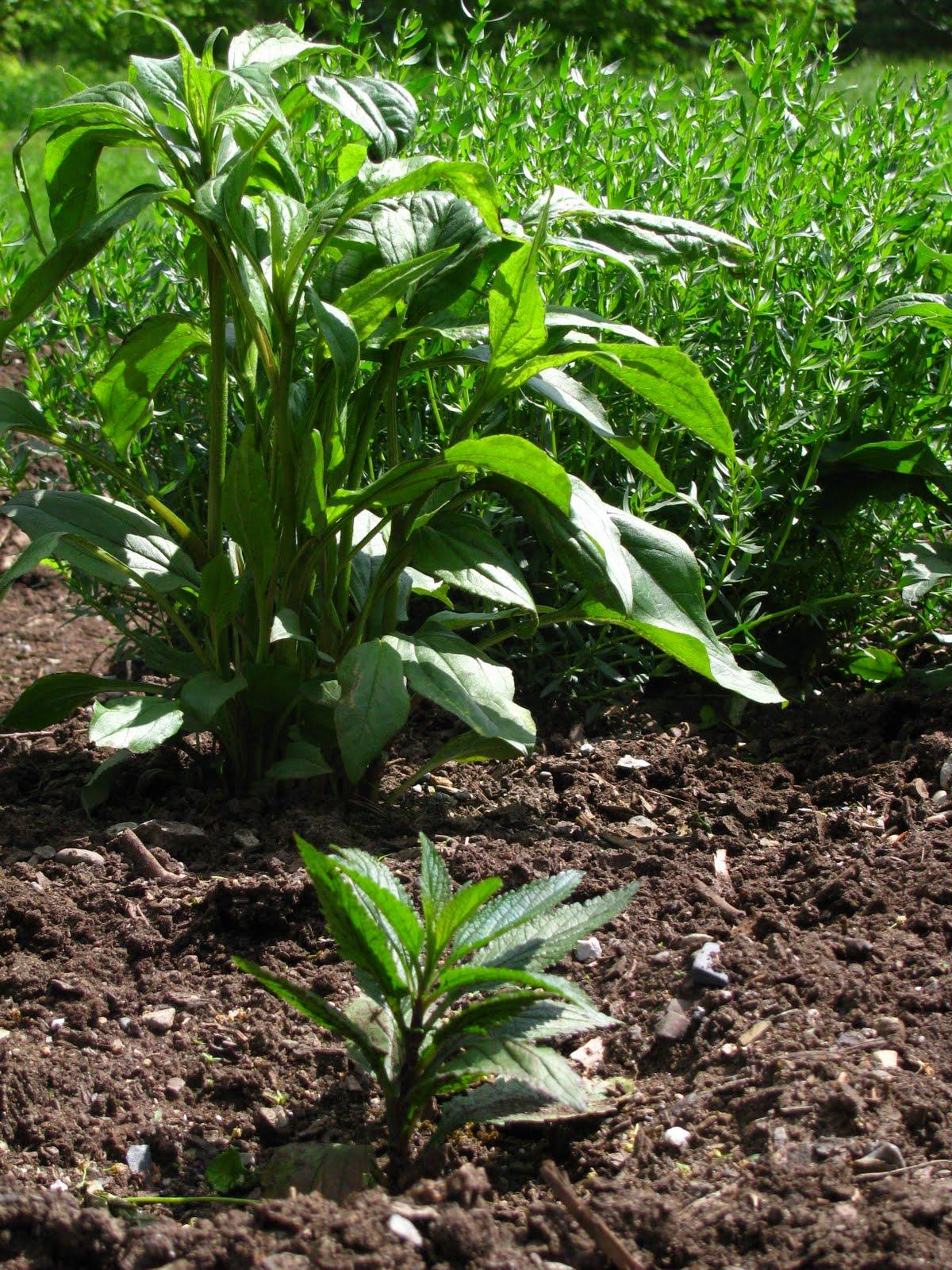 un jardin de plantes m dicinales qui pousse gu rir par les plantes. Black Bedroom Furniture Sets. Home Design Ideas