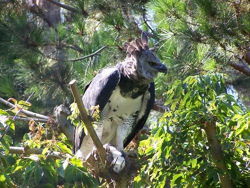 Harpy eagle hunting monkey - photo#19