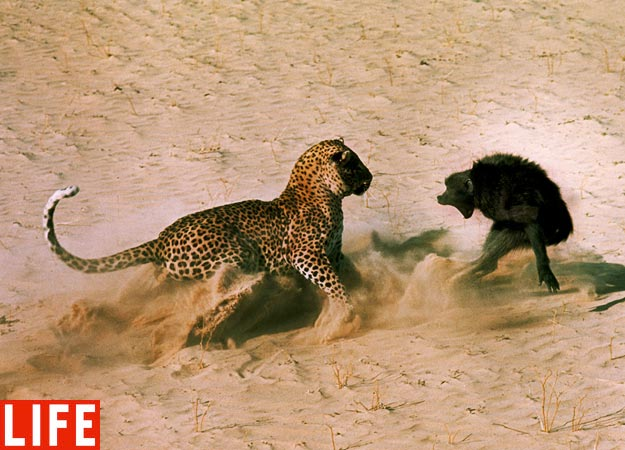animal fights, fierce animal fights, animal fight pictures, animal photos, animal fight photos, amazing animals