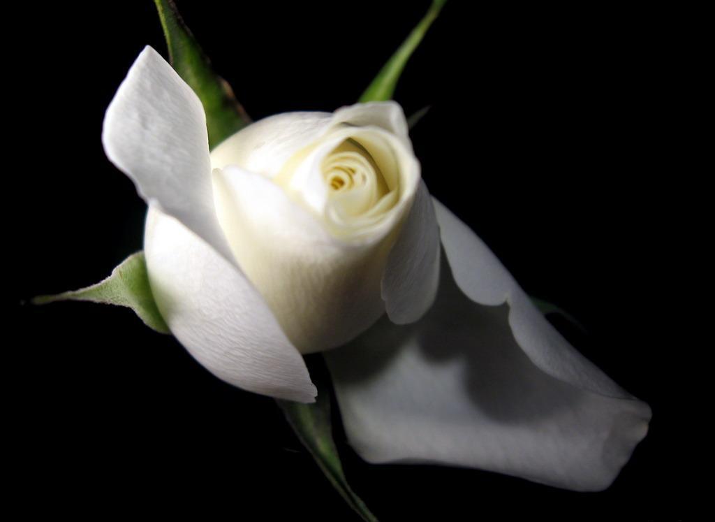 single white rose wallpaper. White Rose HD photos flowers