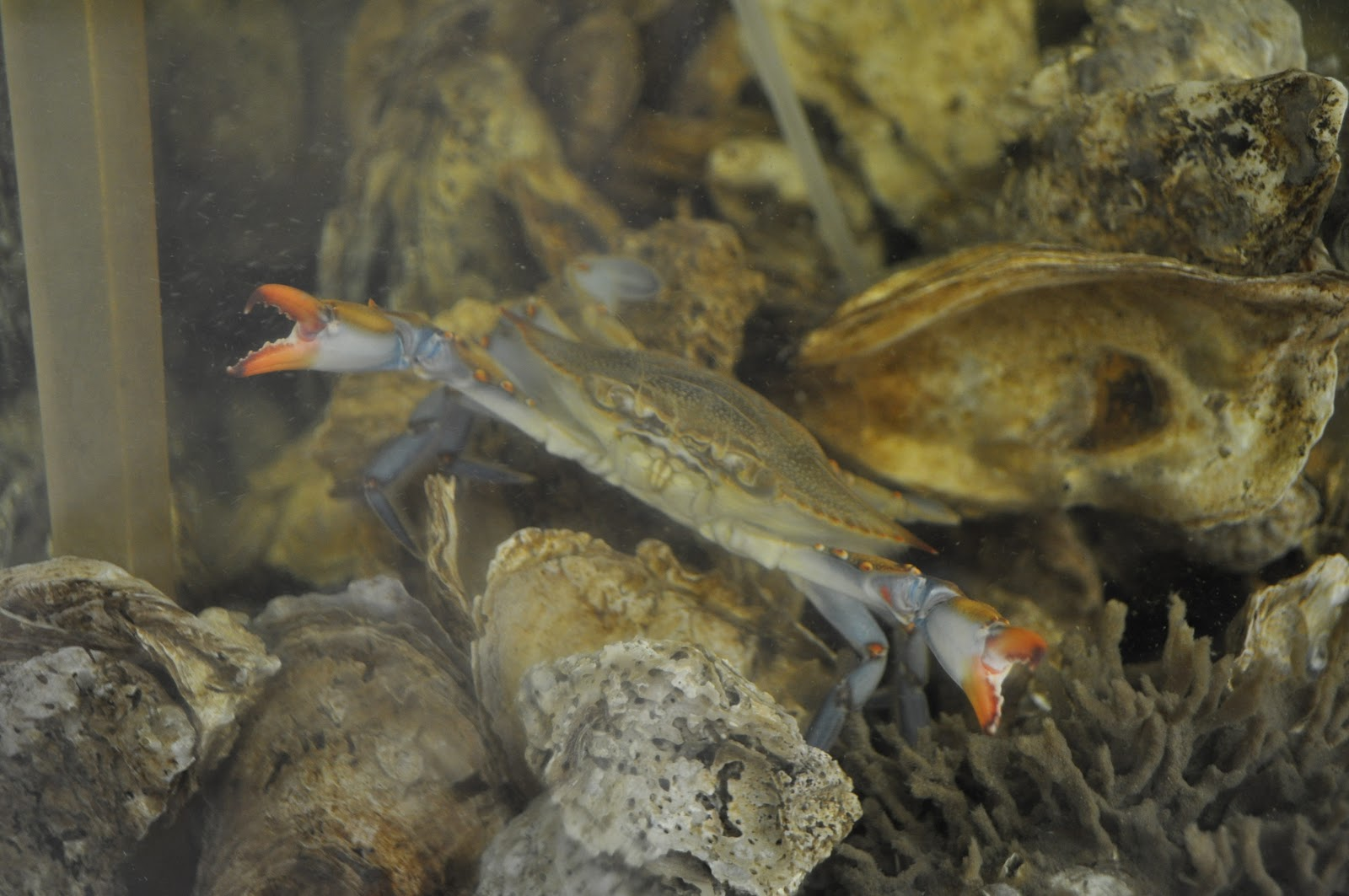 Underwater oyster reef - photo#20