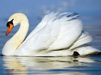 Swan Puzzle