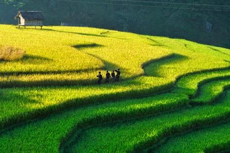 Ruộng bậc thang Tú Lệ - Văn Chấn (Yên Bái)