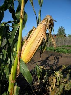 10 сентября, семенной початок кукурузы