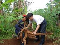 Como cultivar La Yuca