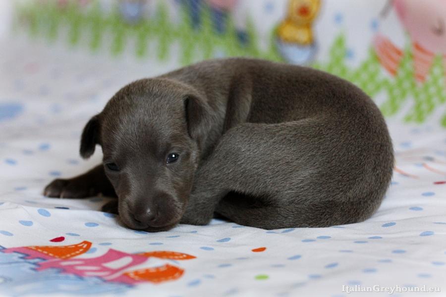 Italian Greyhound Puppy kennel Stupor Mundi FCI