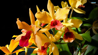 Yellow Orchid HD Flower Wallpaper