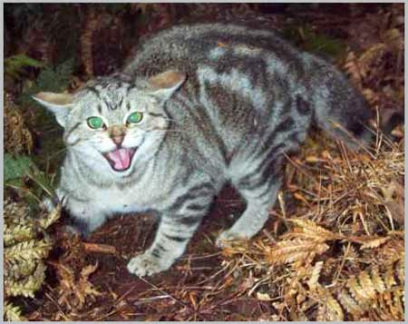 Mèo hoang có thể gây những bệnh nguy hiểm cho con người.