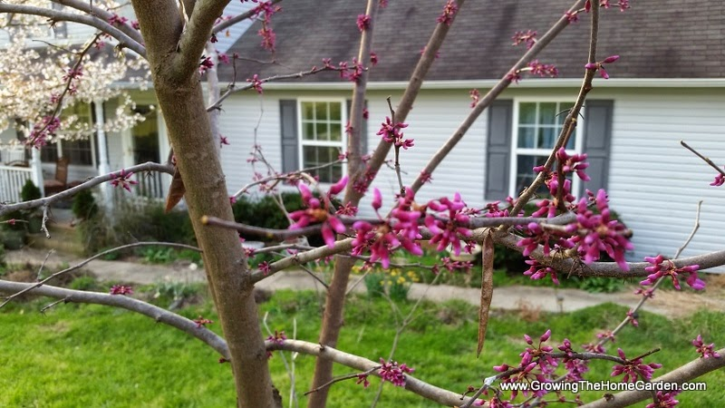 redbuds in the home garden