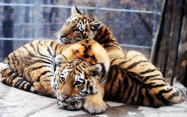 Fotos de Parejas de Tigres - Imagenes de Animales Salvajes