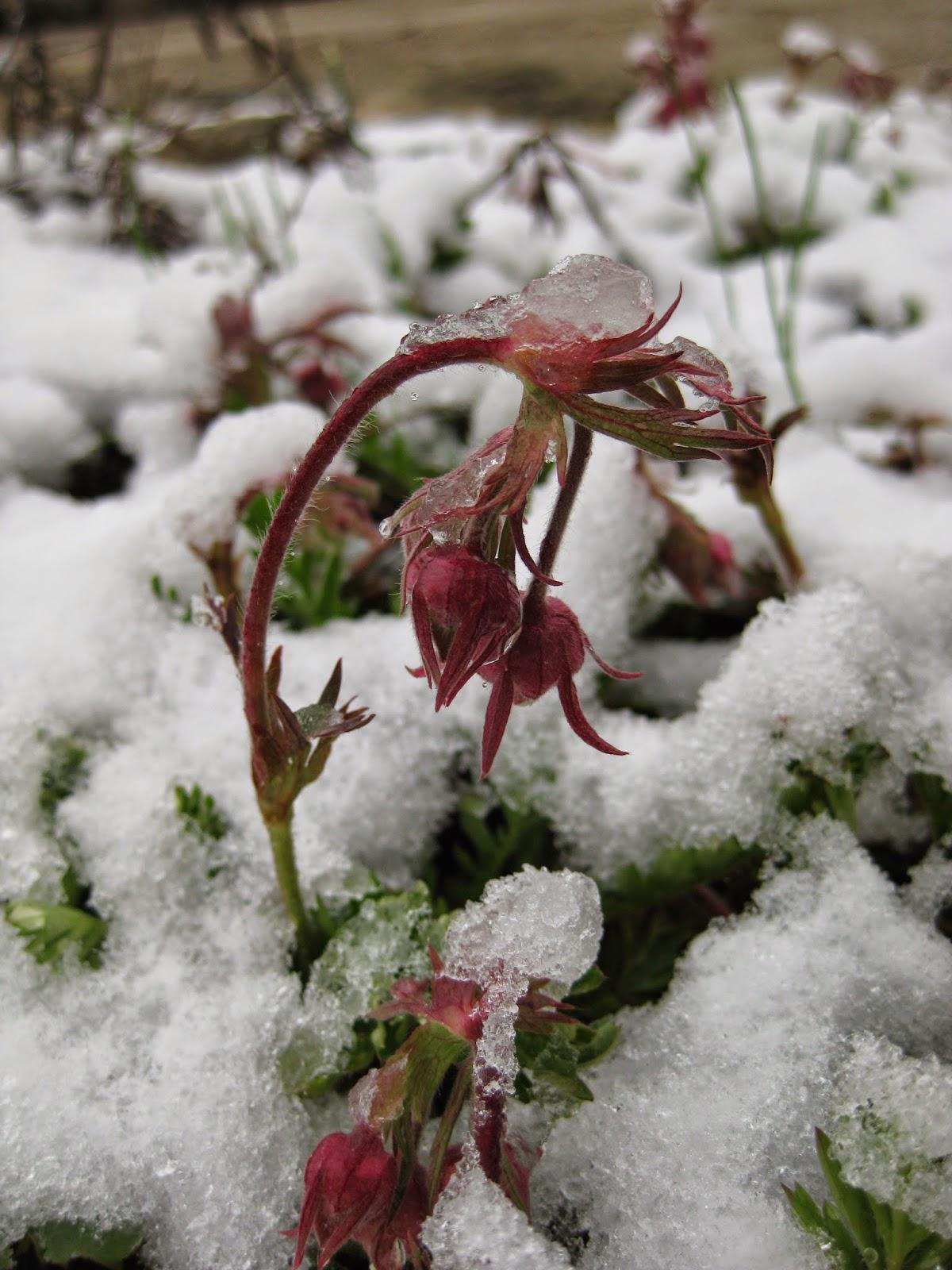 Geum Triflorum Winter