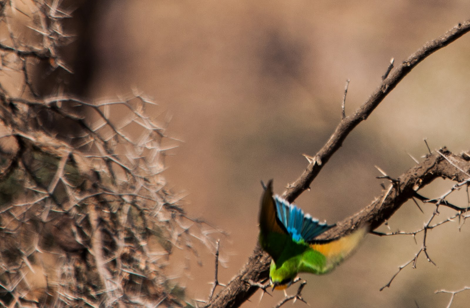 swallow tailed bee eater damaraland