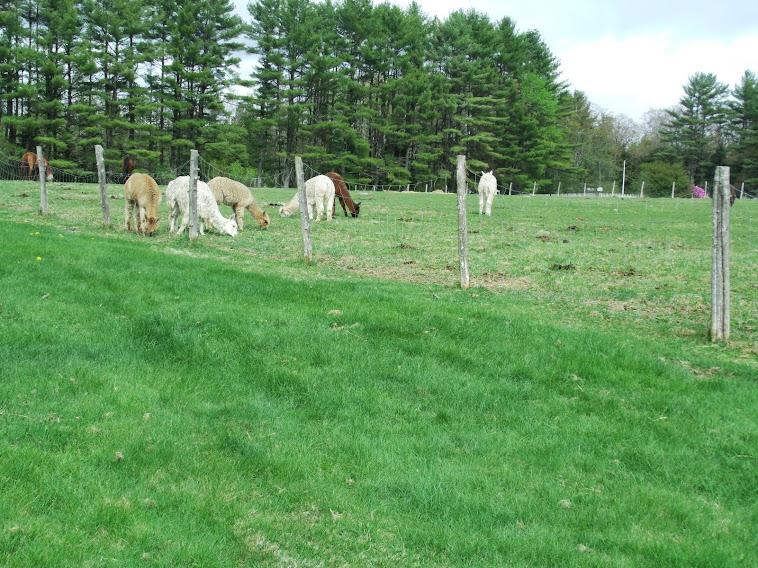 Spring grass..alpacas are happy
