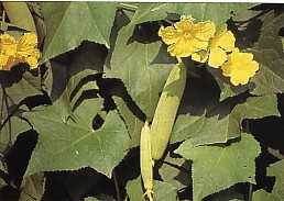 Blustru, tanaman herbal 100% manfaat