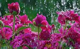 Nuevas flores en el campo (imágenes de 1920x1080px)