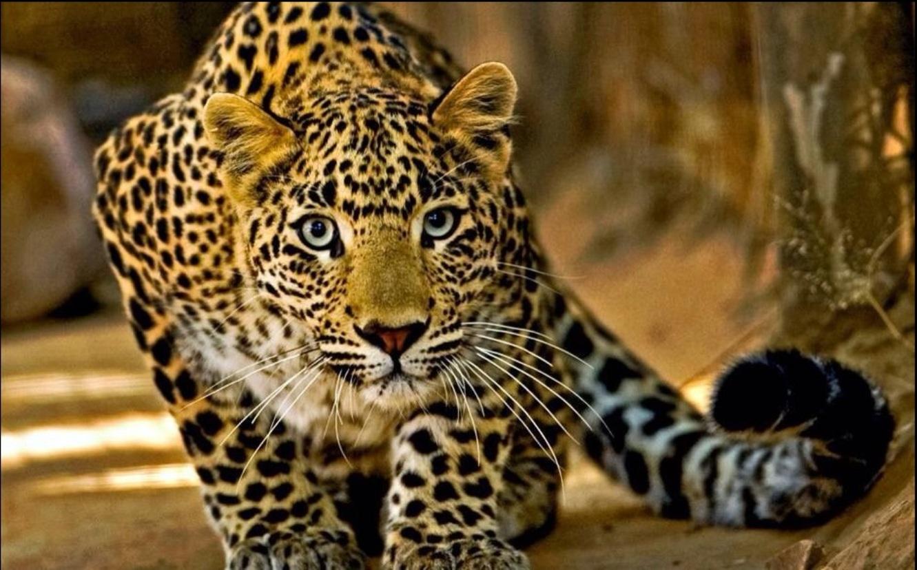 Resultado de imagem para Onça do Pantanal, maior mamífero das florestas brasileiras