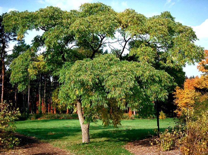 Beechwood landscape architecture and construction amur for Garden deciduous trees