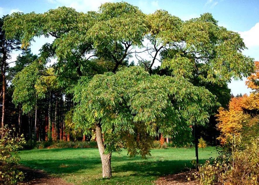 Planting Under Deciduous Trees : Construction amur corktree deciduous tree woody plant of the day
