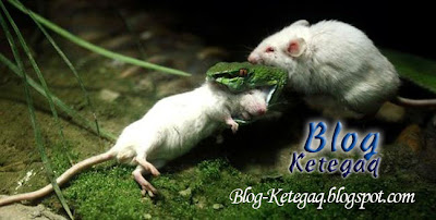 Tikus menyerang ular berbisa untuk selamatkan rakan