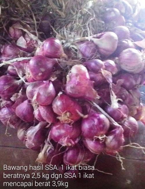 Testimoni Pupuk Organik Cair SSA Untuk Tanaman Bawang Merah