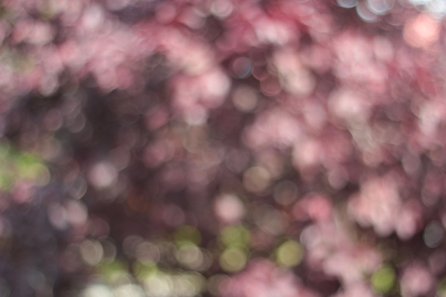 cherry tree in bokeh