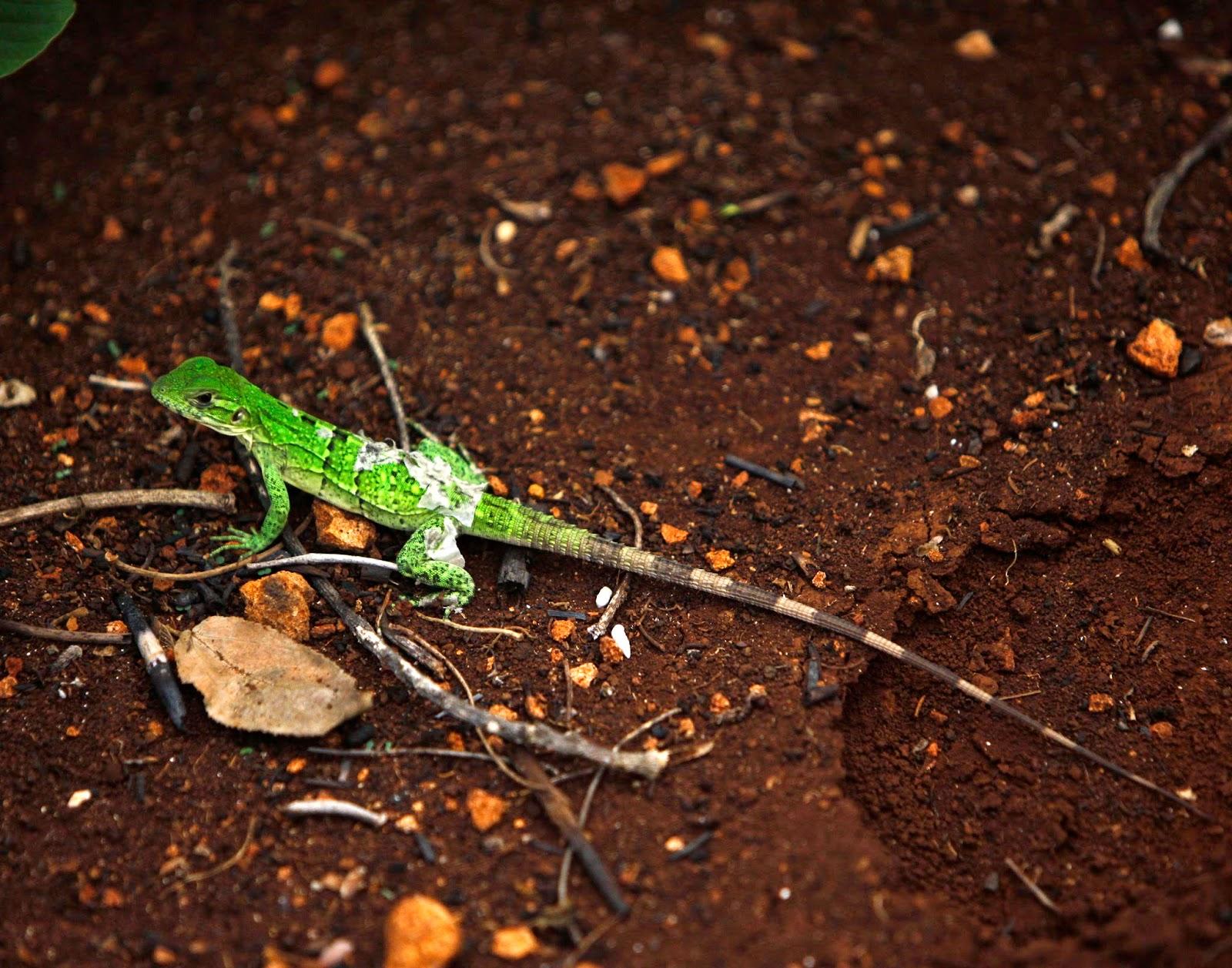 Una lagartija verde toma el sol cerca de la cueva Aktun Usil