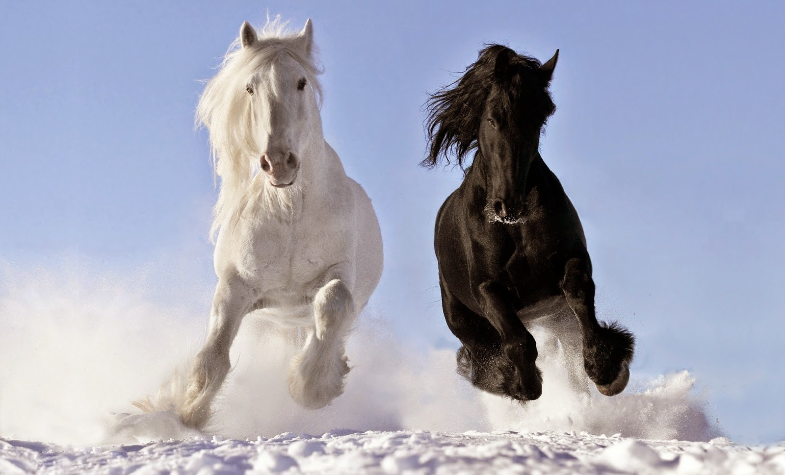 Black And White Horse Running Hd Wallpaper Get For Free Get For