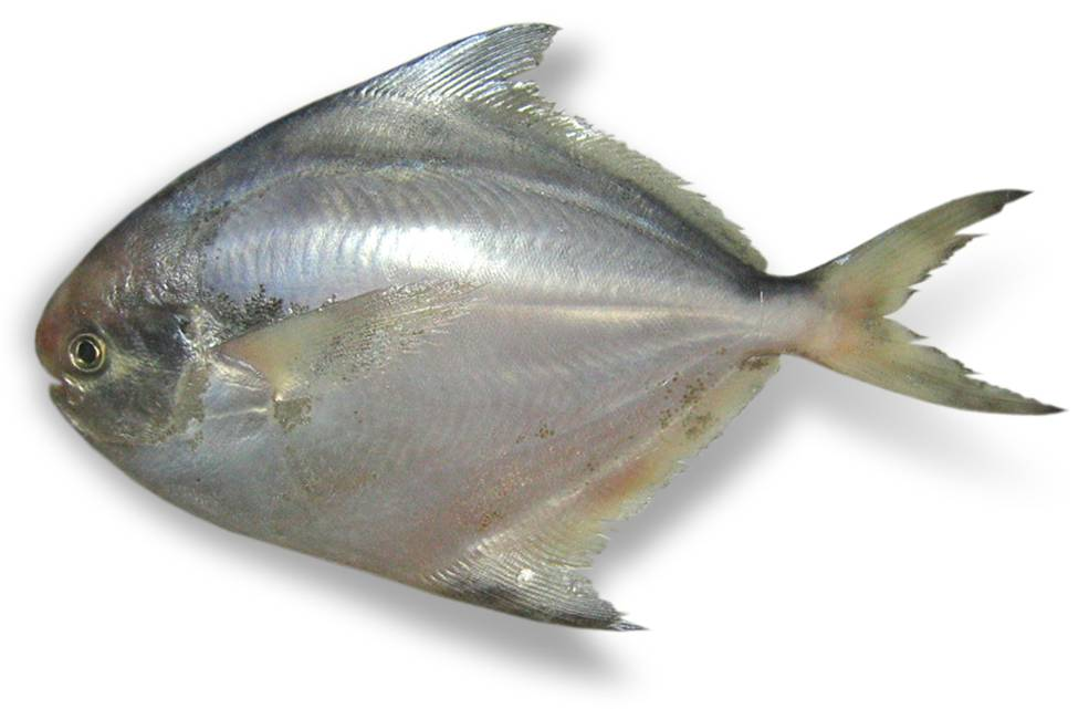 Pashudhan and animal science pamphelt pomfret fish for Image of fish