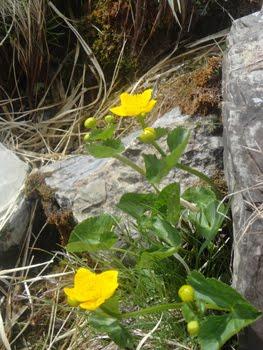 Ranunculus Thora (Erba tora)