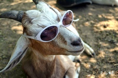 goat with cooling glass (sunglass)