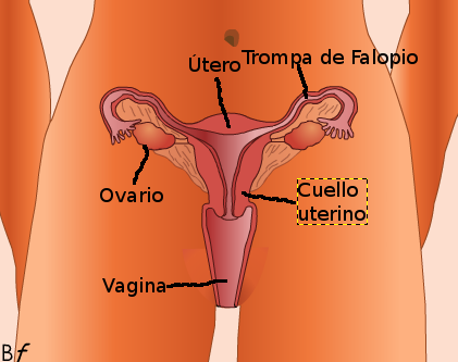 Aparato reproductor femenino - Mind42: Free online mind mapping software