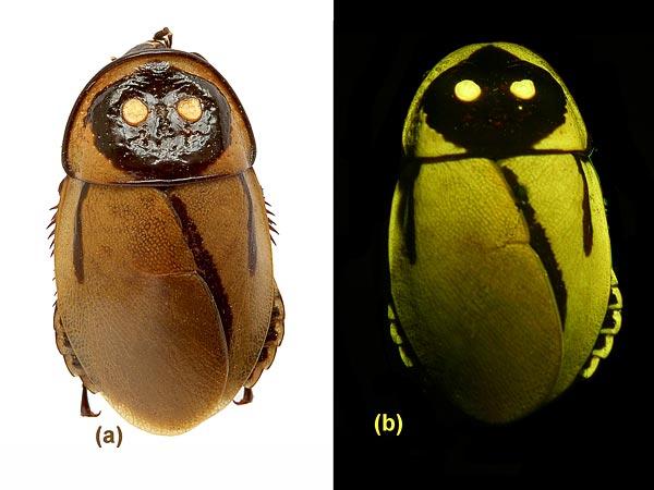 Species Name : Glowing cockroach (Lucihormetica luckae)