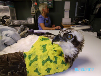 Osprey gets X Ray