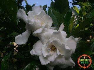 Bunga Melati Putih Super Jumbo