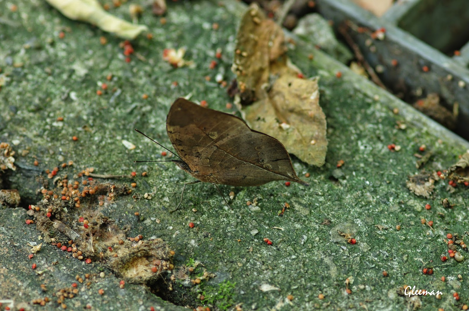 終於在這裡看見枯葉蝶了。於雞南山。