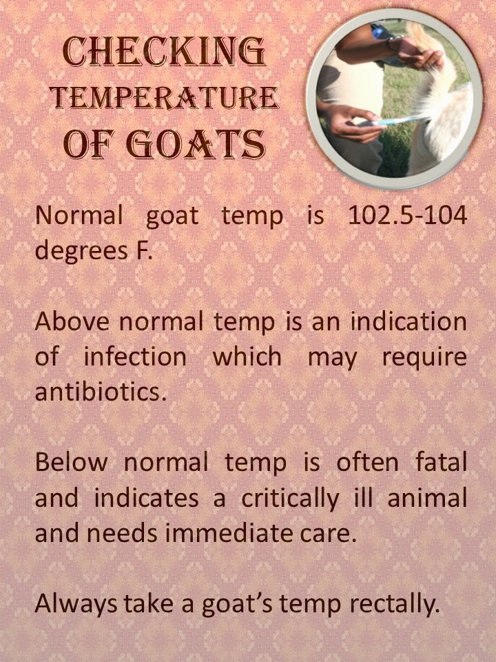 Checking Goat Temperature