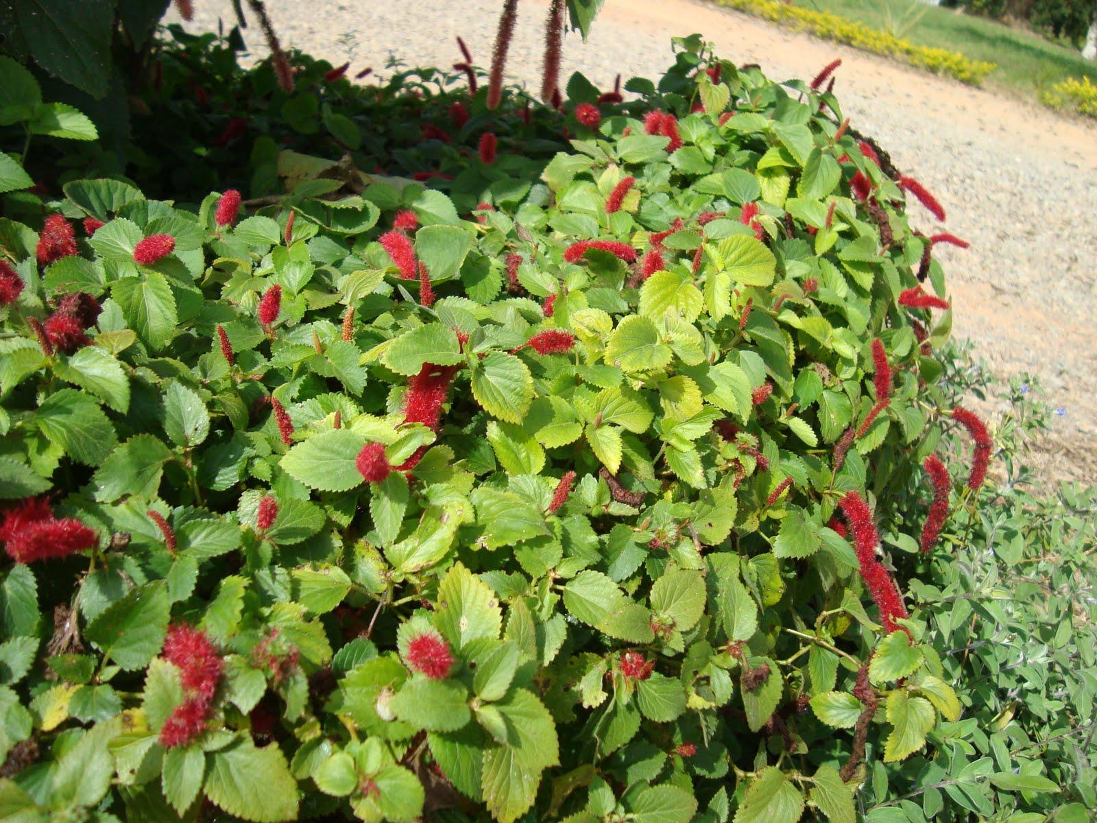 plantas de jardim que gostam de umidade : plantas de jardim que gostam de umidade:Os Paisagistas: Forrações de Meia sombra