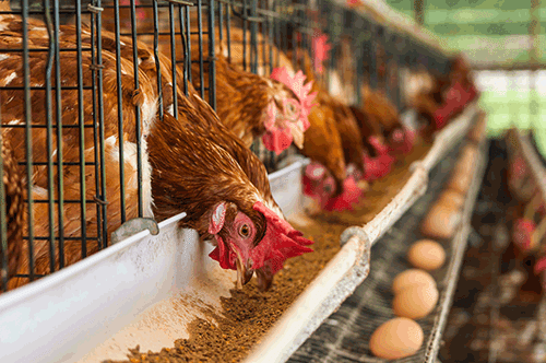 In his second meeting with representatives of poultry industry in a week, Osinbajo leads an urgent effort by FG to relief the ailing poultry industry.