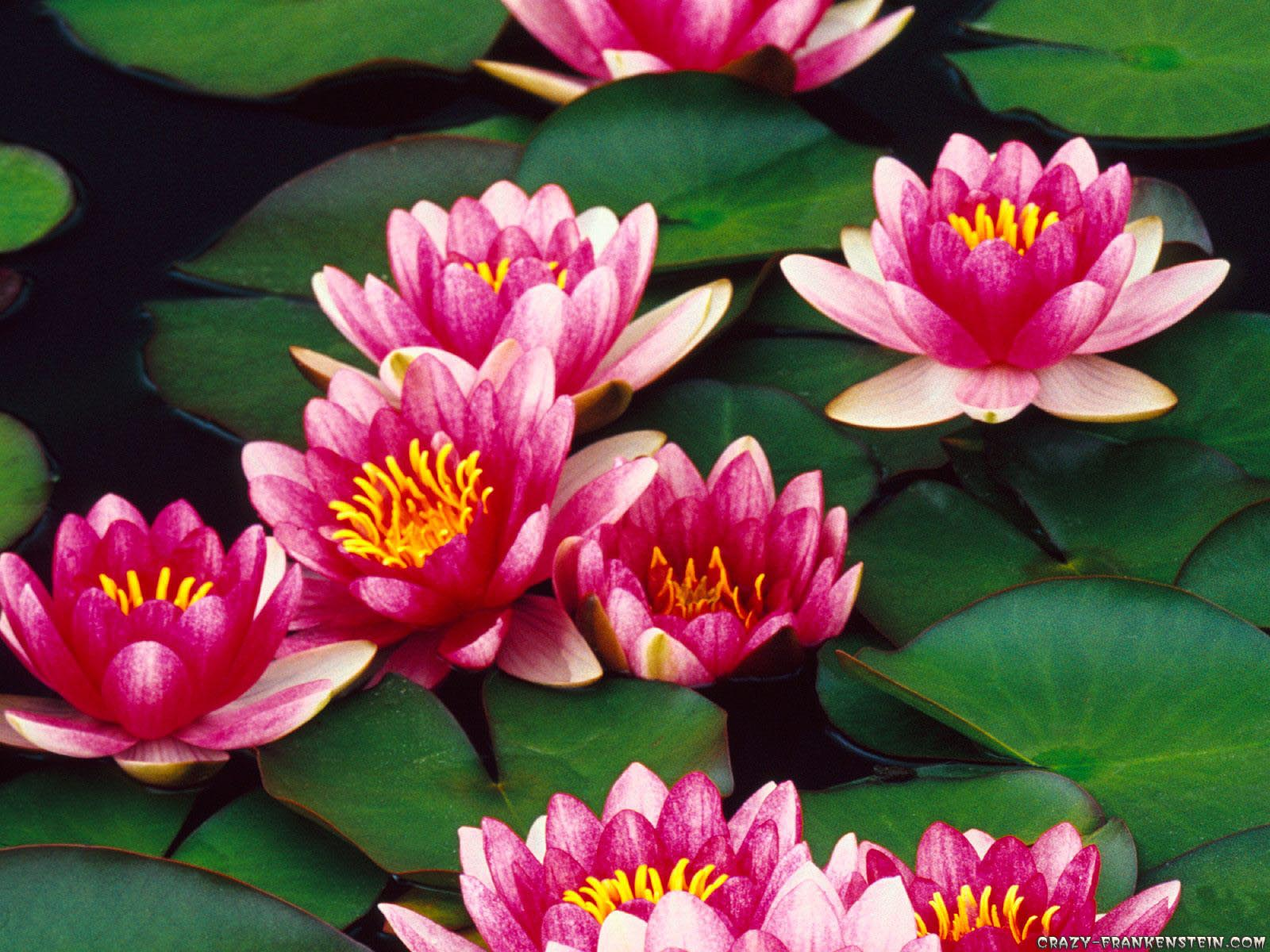 http://2.bp.blogspot.com/-IKjBd5MC-04/Tf97ffh176I/AAAAAAAAAUg/YAIdLm3mrDc/s1600/Water+Lilies+Flowers+Wallpapers+1.jpg