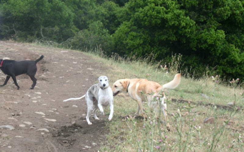 a white and grey whippet runs past cabana