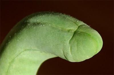 Penis Cactus / Penis Plant - monstrose Trichocereus bridgesii