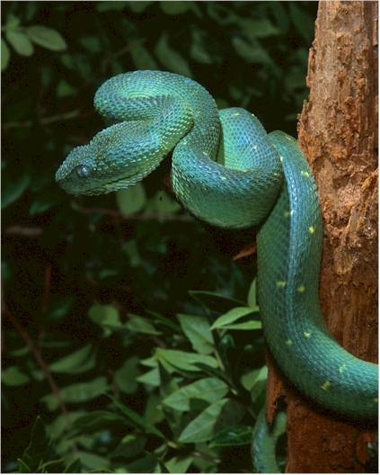 West+African+bush+viper Amazing Colorful Snakes   Most Beautiful Venomous Snakes of the World