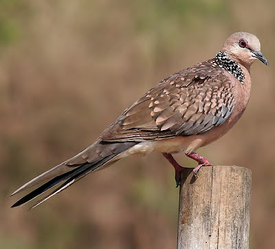 Spotted dove flying - photo#21